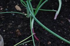 Allium cepa var. cepa 'Apache' (basswulf) Tags: salad allium alliumcepavarcepa springonion onion apache d40 vivitar90mmf25macro lenstagged unmodified 32 image:ratio=32 camerasetting:aperture=f71 permissions:licence=c plantdb:family=pending 20160529 201605 3008x2000 polytunnel garden normcres oxford england uk