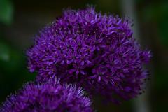 Allium (graham.newland) Tags: flower field allium depth graden