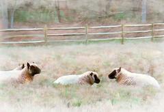 tete a tete (Terry Pellmar) Tags: texture field virginia sheep digitalart digitalpainting pasture