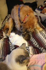 """Elmo Says, """"Make Them Go Away."""" (ScarletPeaches) Tags: dog pets cavy mutt furry feline cookie critter guineapigs elmo siamese canine napoleon rodents cate schnoodle princessprissypants furbay"""