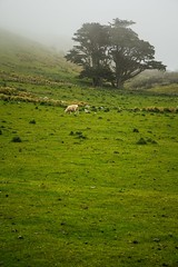 Misty Morning (Andrei Valentin) Tags: morning newzealand mist nature fog sheep dunedin grassland grasssandymountotagonewzealandnz
