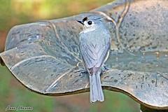 Tufted Titmouse (--Anne--) Tags: cute bird nature birds bath wildlife titmouse tufted titmice