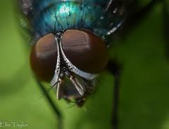 Fly (ellie.taylor30) Tags: macro nature nikon sigma sigma105 flickrnature nikonnaturephotography macrodreams