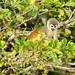 Spider Monkey, Ecuadorean Rainforest