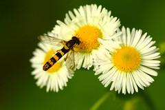 2016 06 26 Triple Flower & Wasp (Mister-Mastro) Tags: macro makro wasp schlupfwespe blume flower fleur insect insekten