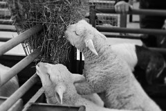 Reach! (Charlotte Ruck) Tags: sheep farm animal wool lamb