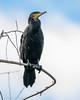 Great Cormorant 0L2A1540 (Kelvin Param) Tags: australia victoria glenroy