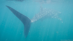 Baja California Sur, Mar de Cortez-21.jpg (gaillard.galopere) Tags: beautiful mexico underwater bajacalifornia requin baja bajacaliforniasur balaine requinbaleine subaquatique gaillardgalopere mexcapade tiburronballena