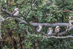Four Kookaburras (Gillian Everett) Tags: bird four native australian australia queensland kookaburra