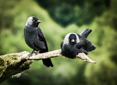 Resting Jackdaws. (gizmo-the-bandit) Tags: uk bird nature wildlife corvid jackdaw perching