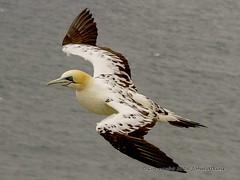 Gannet 3rd year bird in flight ( 1 )  17/06/16 (johnatkins2008) Tags: camera flying flight coastline gannets birdphotography canonphotography coastalbirds eos7d johnatkins2008
