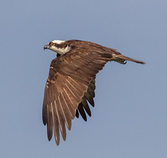 Osprey fly-by (tresed47) Tags: 2016 201605may 20160525newjerseybirds birds canon7d content folder newjersey osprey peterscamera petersphotos places takenby us wetlandsinstitute
