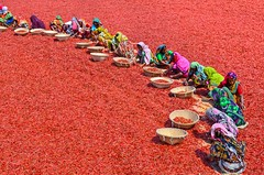 Busy workers!! (ashik mahmud 1847) Tags: light red people woman color field chili outdoor worker nikkor bangladesh d5100