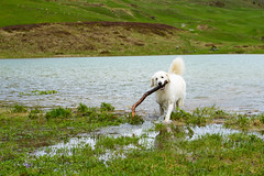 Look what I found! (balu51) Tags: summer dog white lake playing cold green water juni landscape fun see hiking sommer berge hund stick grn bathing baden mountainlake bergsee kalt landschaft weiss kuvasz swissalps spielen wanderung 2016 graubnden libi ungarischerhirtenhund schamserberg copyrightbybalu51