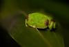 The Malabar gliding frog or Malabar flying frog (Rhacophorus malabaricus) (SaiKiranKanuri) Tags: flying monsoon western gliding westernghats ghats malabar agumbe malabaricus rhacophorus macromondays