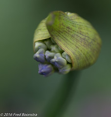 IMG_9800 (A.J. Boonstra) Tags: plant flower macro garden is usm agapanthus f28l ef100mm afrikaanselelie ef100mmf28lmacroisusm canon70d