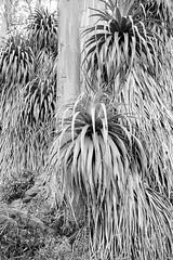 In Tasmania: Pandani Trees, Mt Field National Park (Milo R.) Tags: leica tree film analog 35mm jungle tasmania f2 idyll prehistoric m6 leicam6 mtfield auatralia