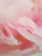 rose (jannekeschothans) Tags: pink color rose roos romantic ros roze pioen pioenroos