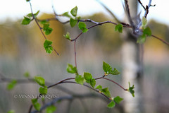 (minna-L) Tags: trees light sunset white green nature leaves suomi finland evening availablelight birch backlit luonto