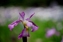 () /Iris ensata (nobuflickr) Tags: iris flower nature japan kyoto    irisensata heianjingushrine japanesewateriris    20160609dsc02068