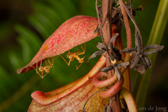 Green ants under Nepenthes pitcher lid (Cameron de Jong) Tags: plant green ants pitcher carnivorous nepenthes oecophylla smaragdina