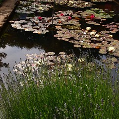 P6303710 (louisecrouch) Tags: reflection nature garden outdoors pond lilies lilypads lilypond summerflowers pondplants summergarden countrygarden waterliles lilyflowers