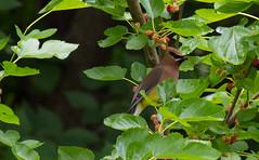 Cedar Waxwing (Ktach.us) Tags: nature birds berry nikon berries wildlife cedar wetlands waxwing 70300 d7200