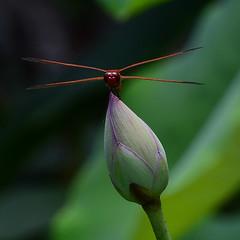 Dragon and Lotus (all one thing) Tags: flower nature insect lotus dragonfly nelumbonucifera lotusbud scarletskimmer crocothemisservilia floridabotanicalgardens malescarletskimmer dragonandlotus