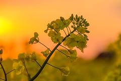 Yellow at Sunset