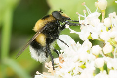 Hoverfly- Volucella bombylans (linanjohn) Tags: uk macro nature wildlife insects lincolnshire syrphidae diptera hoverflies eristalinae volucellabombylans