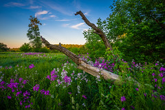 Old Wood, New Life (ErikFromCanada) Tags: flowers blue trees sunset summer sky plants cloud ontario canada tree green nature beauty outside purple branches sony ngc meadow wideangle calm serene bushes ultrawide tallgrass fallentree settingsun a7r