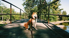 Morning stroll through the park (Kayla Nicole ) Tags: park morning bridge summer dog water river walk shibainu wisconsinriver
