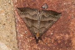 snout (2) (postcardcv) Tags: macro canon eos norfolk moths m3 snout 100l
