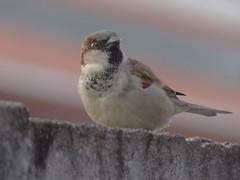 DSC04718 Pardal (familiapratta) Tags: bird nature birds brasil iso100 sony natureza pssaro aves pssaros novaodessa novaodessasp hx100v dschx100v