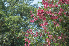 (Psinthos.Net) Tags: trees light summer sky sunlight tree nature june countryside oak day branches blossoms bluesky valley noon sunrays oleander sunnyday pinkblossoms       psinthos            psinthosvalley