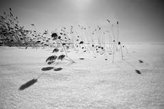 battlefield I (Mindaugas Buivydas) Tags: bw snow reed march spring shadows sunny lithuania lietuva kroklanka nemunodeltosregioninisparkas nemunasdeltaregionalpark