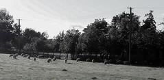 sheeps  -  North Romania (amos.locati) Tags: sheeps pecore humoreni romania bucovina suceava amos locati oaie pascolo poiana alb negru
