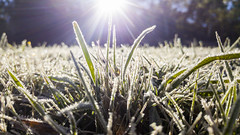 Frosty morning (Eduardo_il_Magnifico) Tags: morning winter sun cold macro ice grass closeup frost phone bokeh australia nsw newsouthwales armidale phonography lgg4