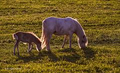 Little Man (jackalope22) Tags: sunset horses colt foal backlighing