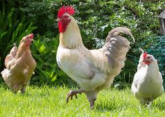 SCE_8350 (staneastwood) Tags: bird chicken animal crop hen cockerel staneastwood stanleyeastwood