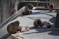 DSC_0268 (ukon1976) Tags: zoo animal monkey japanesemacaque