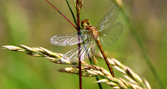 Wings of glass... (RALPHKE) Tags: summer nature netherlands closeup insect wings flickr dragonflies dragonfly nederland natuur insects limburg 2016 libel libellen commondarter sympetrumstriolatum heidelibel commondarterdragonfly bruinrodeheidelibel wingsofglass earthnaturelife