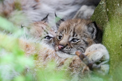 I need more space (nemi1968) Tags: 4weeksold canon canon5dmarkiii ef100400mmf4556lisiiusm eurasianlynx gaupe langedrag lynx markiii brothers cat catfamily closeup crowded cubs cute kittens lynxbrothers lynxcub lynxcubs lynxkitten lynxkittens portrait suffocating tight tiny specanimal