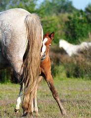 Avec maman (patricegalvand) Tags: poulain camargue cheval quid