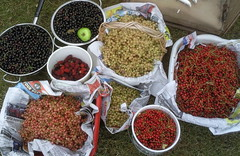 Those plant people - an abundance of fruit (Permaculture Association) Tags: berry berries harvest abundance preserving