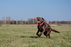 The hunter and his prey (Noemilag) Tags: dog chien canada ball labrador expression retriever chocolatelab qubec labradorretriever mansbestfriend fetch boudha chuckit saintmathiassurrichelieu
