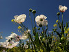 Amapolas blancas (jacilluch) Tags: white flower macro fleur flor blossoms blanca poppy rosella silvestre coquelicot papaver papaversomniferum poppys amapola papavero cornpoppy papoula adormidera ababol mitxoleta papuel