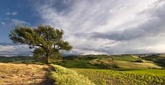 La quercia (Massimo Feliziani) Tags: sunset italy landscape bravo italia tramonto nuvole view wind marche paesaggio colline collina vento macerata quercia rurale marchigiano coltivazioni