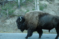 014 - Passing a bison (Scott Shetrone) Tags: animals events places yellowstonenationalpark bison mammals 7th anniversaries wymoing