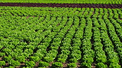 Lettuce (7th_cloud) Tags: plants verde green portugal nature verduras vegetables canon plantas natureza lettuce veggies agriculture aveiro g11 vegs alface agricultura vegetais coth supershot oliveirinha